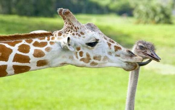 giraff & ostrich